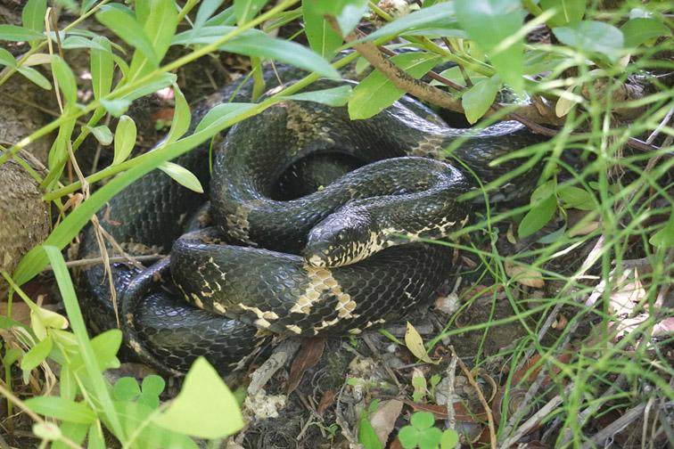 Amur-Amur rat snake Elaphe schrenckii