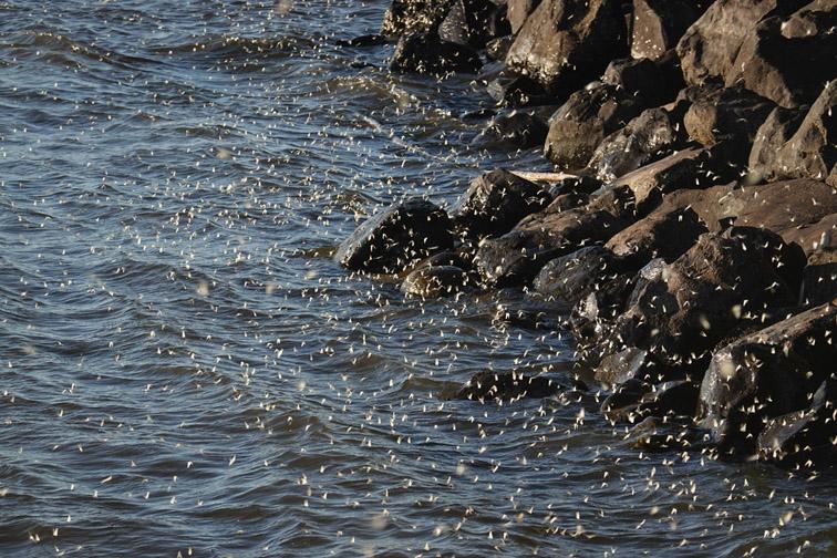 Amur-Yelabuga-hatch-caddis flies
