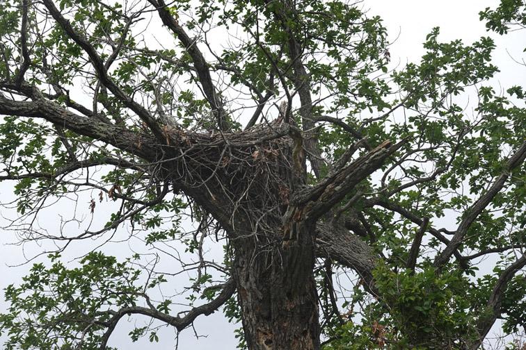 Alt-Amur-Ussuri-Sheremetyevsky nature park-Far Eastern white stork-Ciconia boyciana