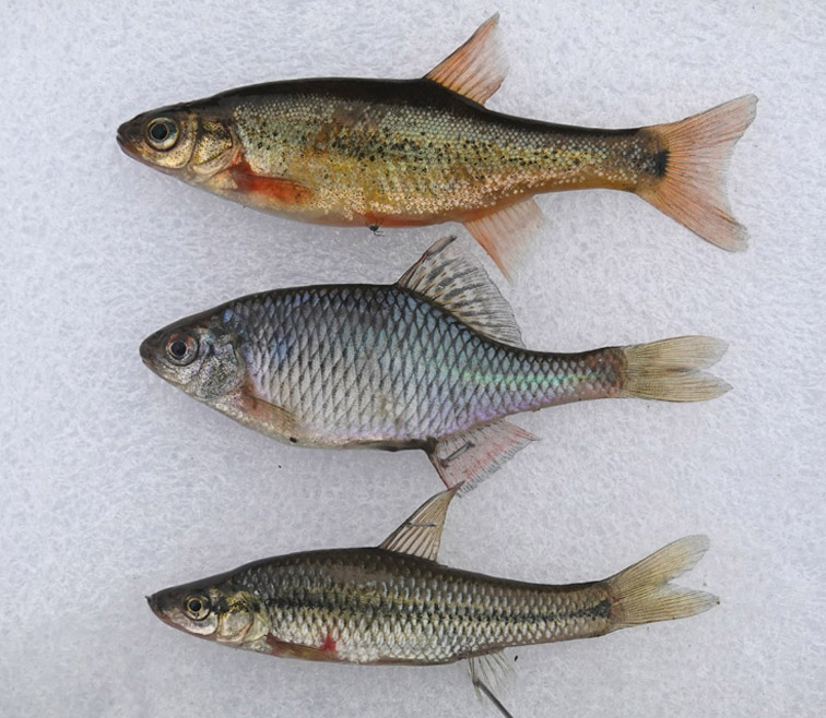 Alt-fish of Amur-fish of Ussuri-Sheremetyevsky nature park