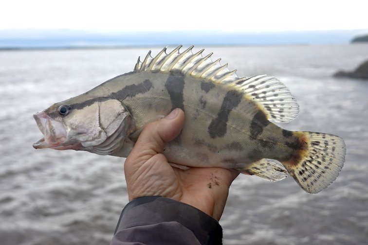 Alt-Amur-flyfishing-Mandarin bass