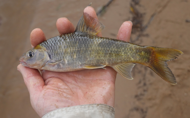 Alt-Amur-flyfishing-lazy gudgeon