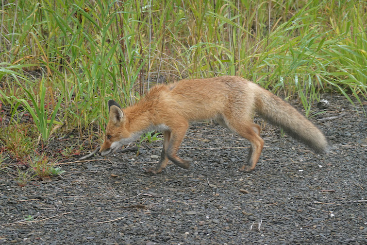 Alt-Udyl-Amur-red fox