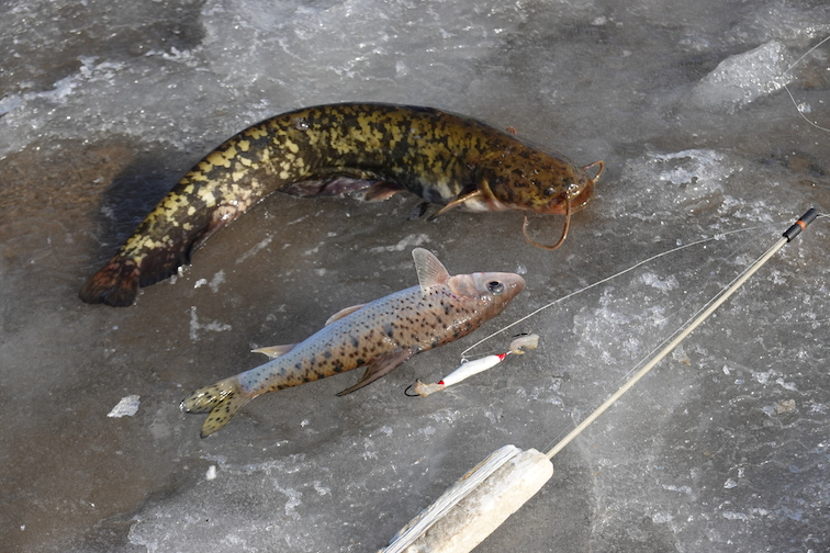 Alt-Amur-ice fishing-catfish-spotted barbel