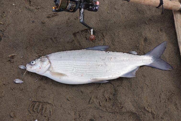 Alt-Amur-Tunguska-lookup-whitefish-barbel-catfush-pike