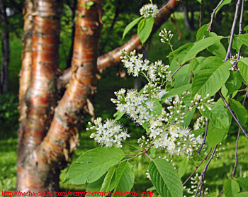 Alt-Himalayan-bear-Maak's-bird-cherry-tree
