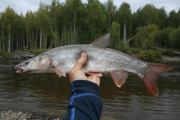 Alt-fly-flyfishing-flathead asp-Amur River
