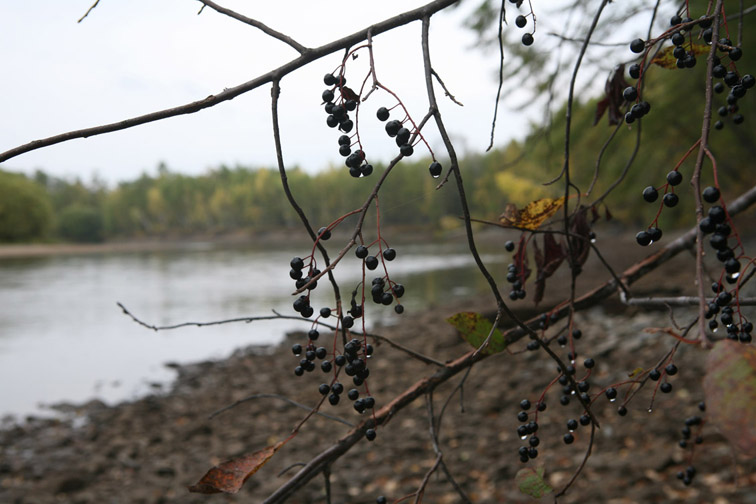 Alt-bird cherry tree-Amur River