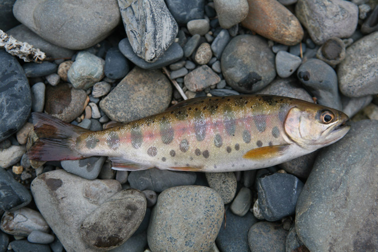 Alt-fly-flyfishing-cherry salmon-Amur River