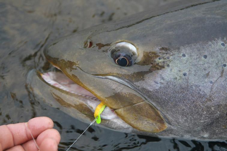 Alt-wobbler fly-flyfishing-Siberian taimen-Amur River