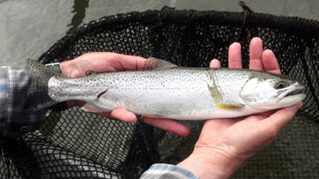 Alt-USA-Oregon-flyfishing-Chinook-cutthroat-trout-Nestucca