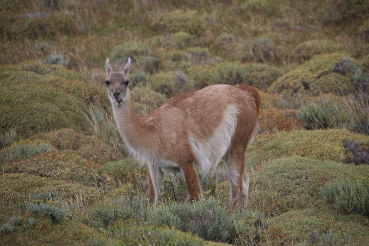 Alt-Patagonia guanaco
