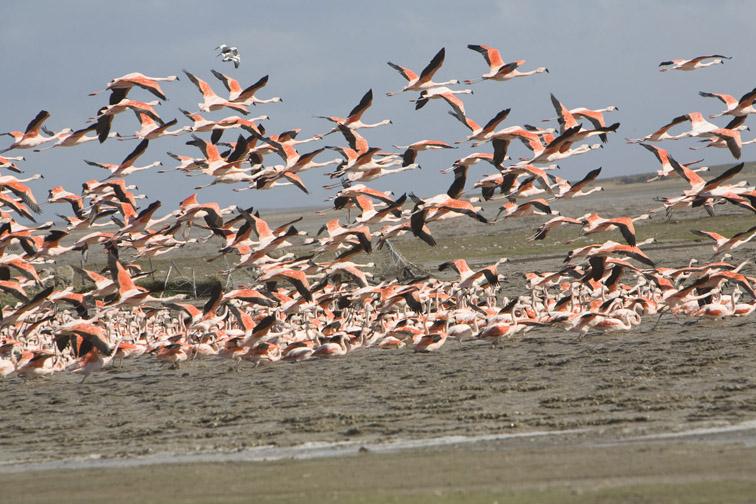 Alt-Patagonia flamingo