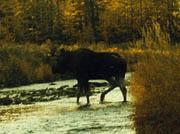 Alt-Колыма река Яма лось