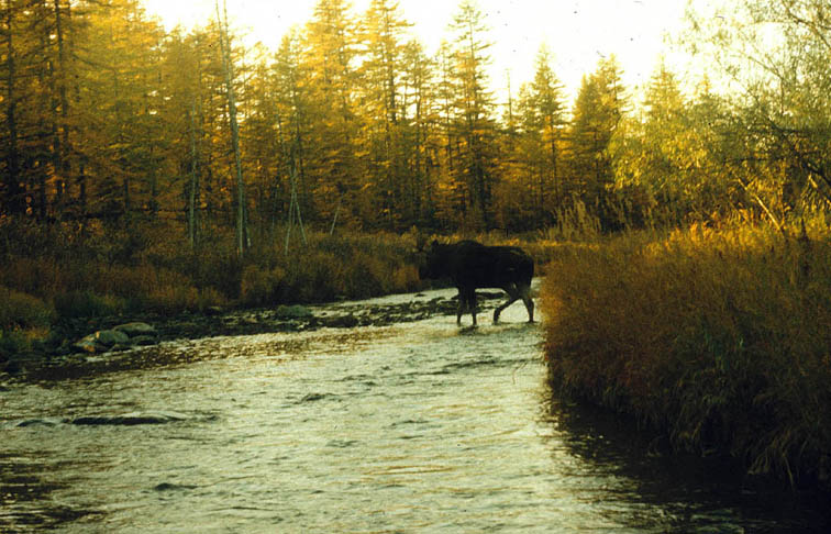 Alt-Yama River moose