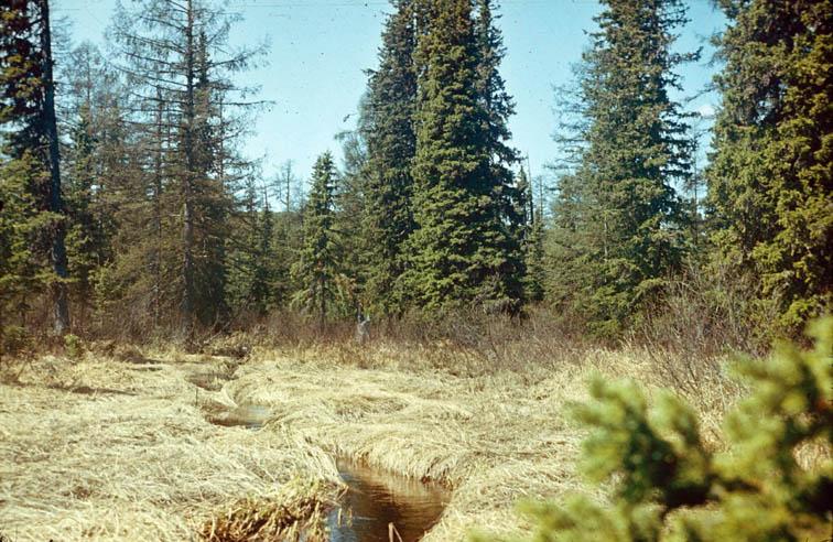 Alt-Yama River nature preserve spruce