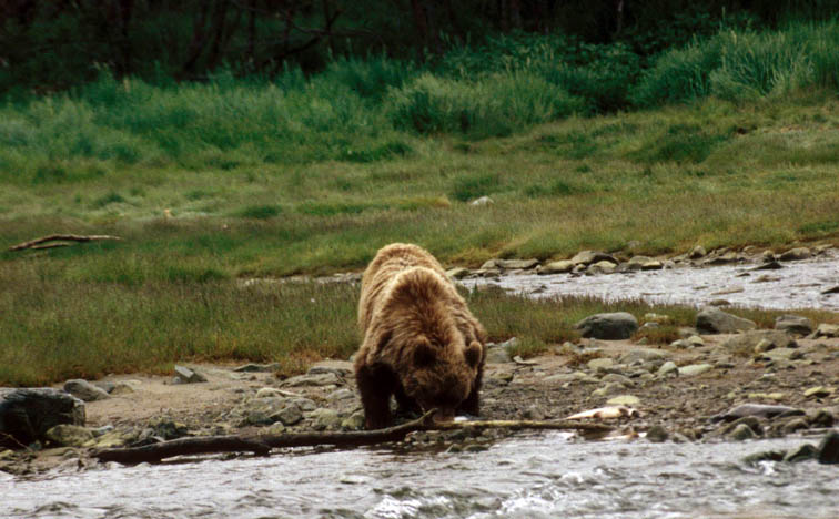 Alt-Yama River bear