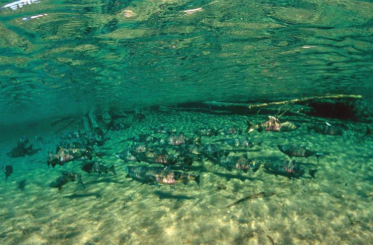 Alt-Yama River chum underwater