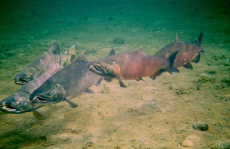 Alt-Yama River coho underwater