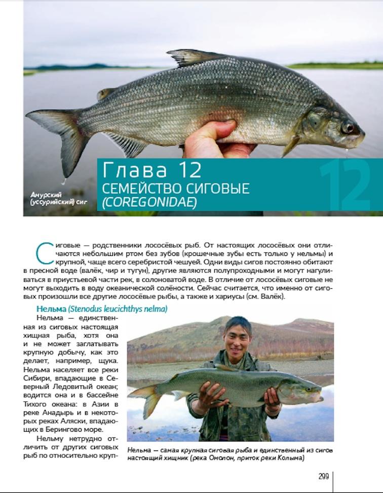 Alt-salmonids-Far East-Kamchatka-Chukotka-spinning-taimen-grayling-whitefish-lenok-coho salmon-chum salmon-pink salmon-char-flyfishing