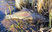 Alt-Tikhaya-Khairyuzova-Kamchatka-mikizha-rainbow-trout